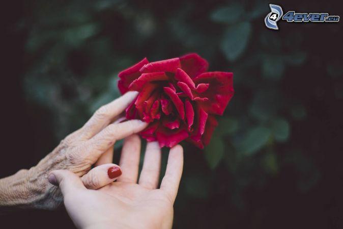 halten sich die Hände, rote Rose