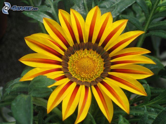 Gerbera for Pflanzen bilder