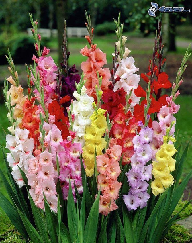 Blumen gladiolen
