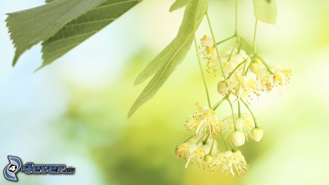 Linden, grüne Blätter