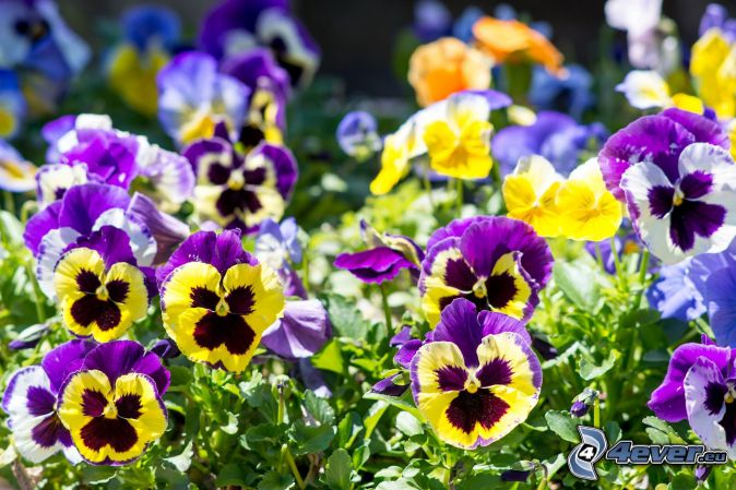 Stiefmütterchen, gelbe Blumen, lila Blumen, blaue Blumen