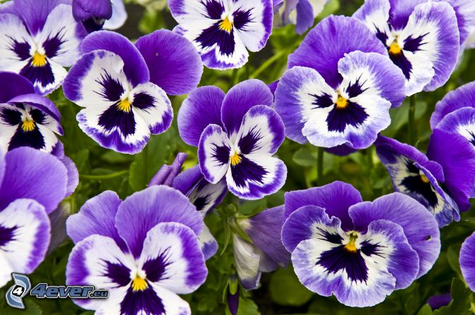 Stiefmütterchen, lila Blumen