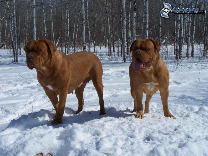 Dogue de Bordeaux, Schnee, verschneiter Wald, Birkenwald