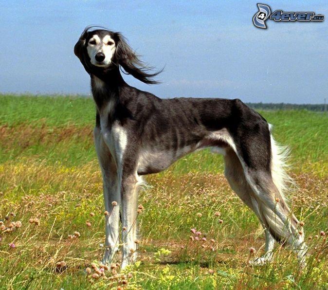 greyhound hunde