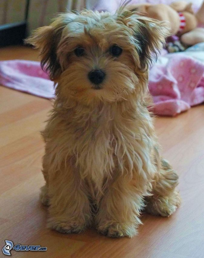 Bolognese Dog Breed Puppies For Sale