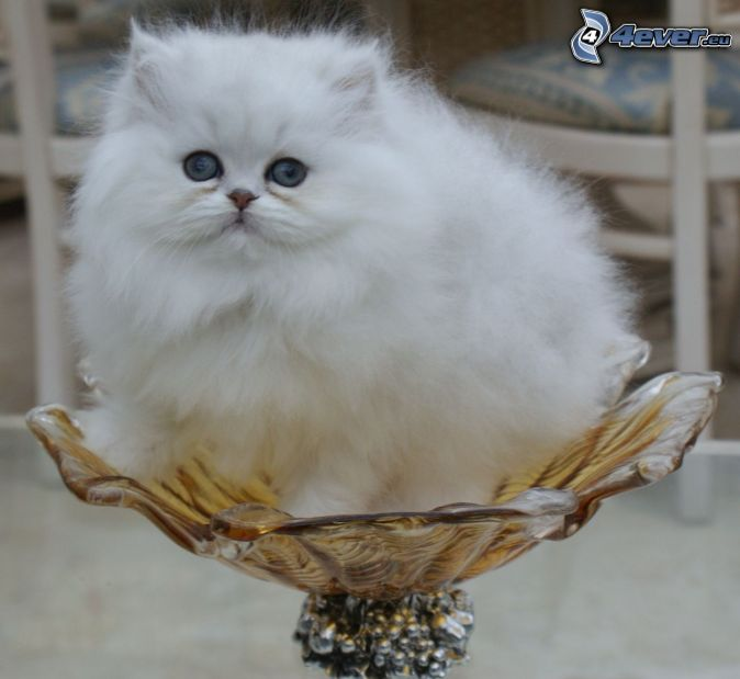 Fat Long Hair Cat