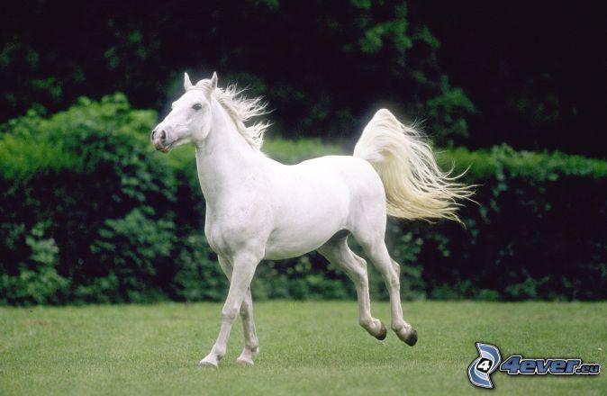 [Bild: weisses-pferd,-galopp-149956.jpg]