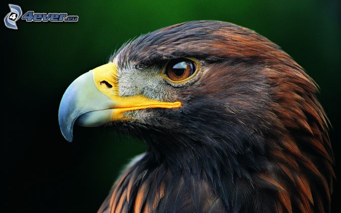 golden eagle full hd wallpaper
