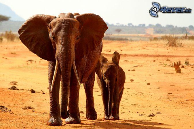 Elefanten, Elefantenkalb