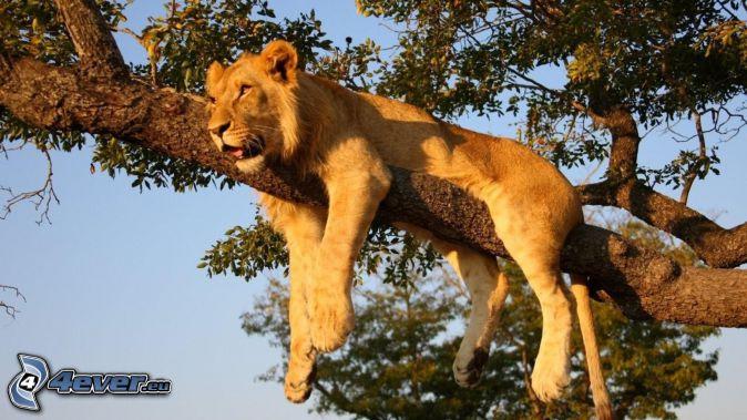 Löwin, Baum