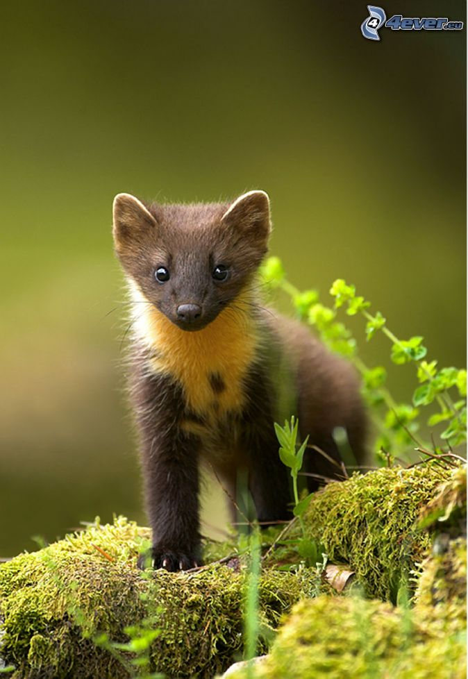 What does a stoat look like 11