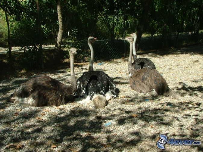 unterschied nandu emu strauß