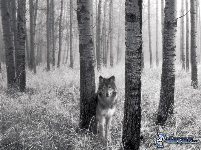 Wolf birken wald gras stämme