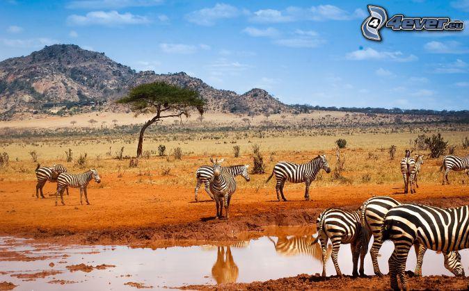 zebras, Pfütze, Hügel, safari