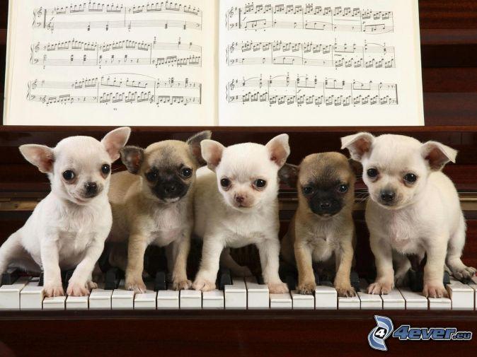 Kleine Hunde, Chihuahua, Klavier, Noten