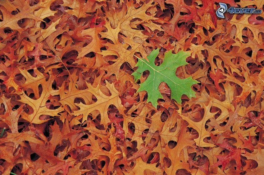 trockene Blätter, grünes Blatt