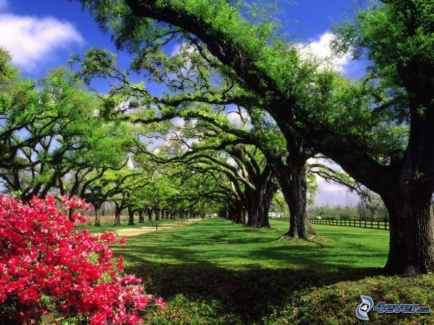 Boone Hall Plantation, Park, Baumallee, weitausladender Baum