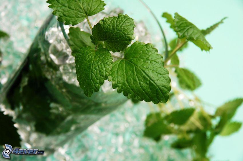 mojito, Minze Blätter, Eiswürfel