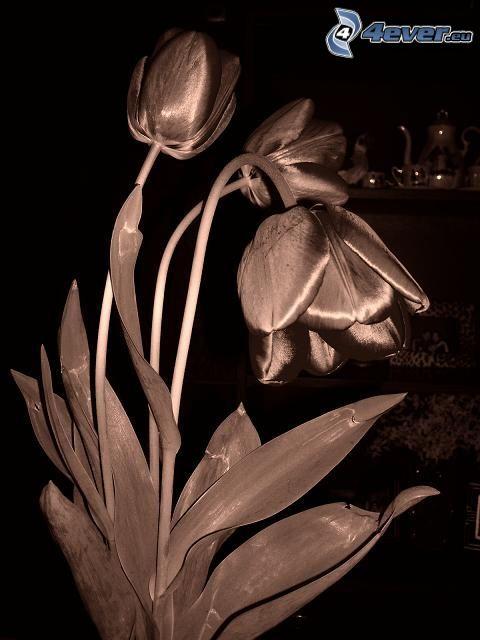 Tulpe, schwarzweiß