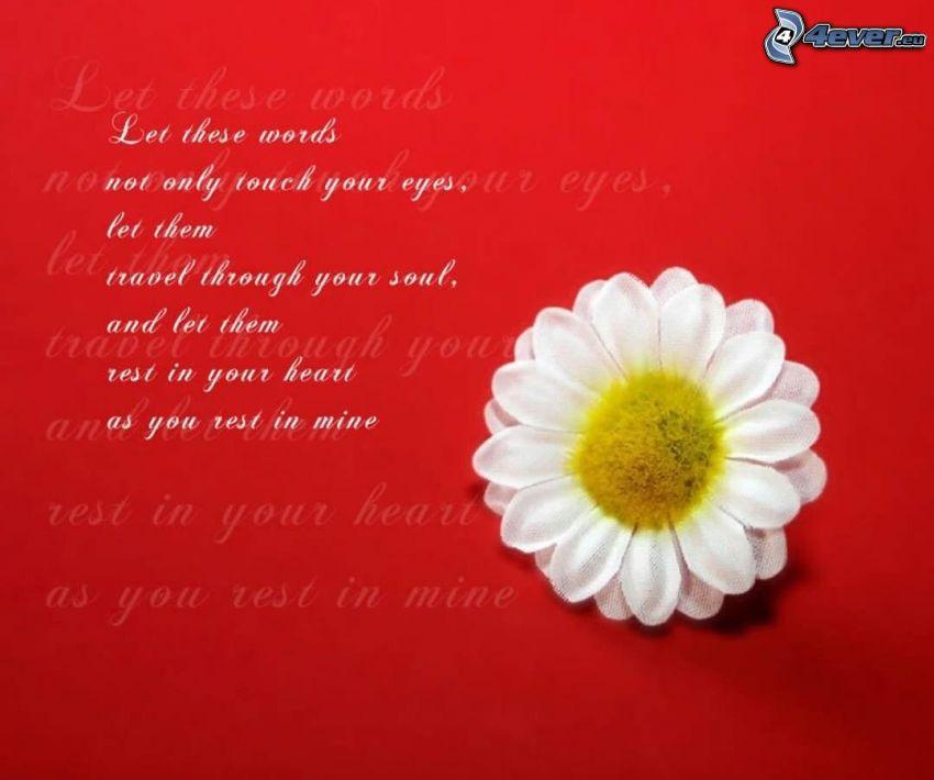 Gänseblume, Text über die Liebe