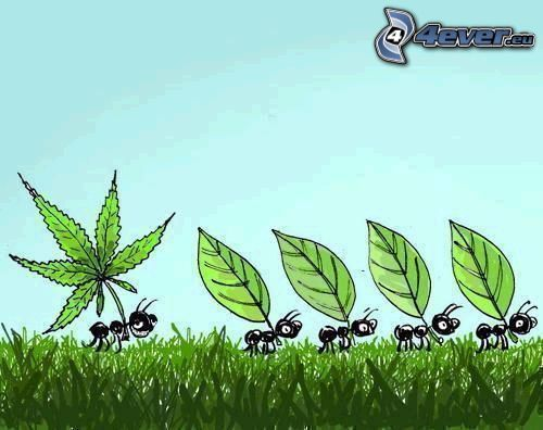 Ameisen, Marihuana, cannabis, Blatt