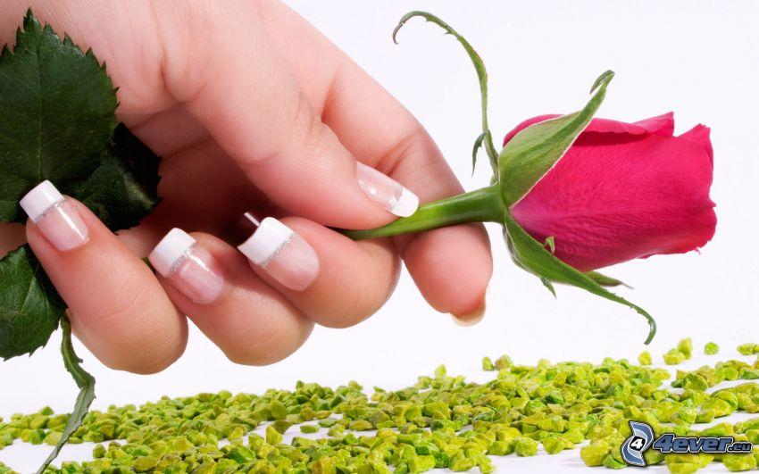 Hand, rote Rose, lackierte Nägel