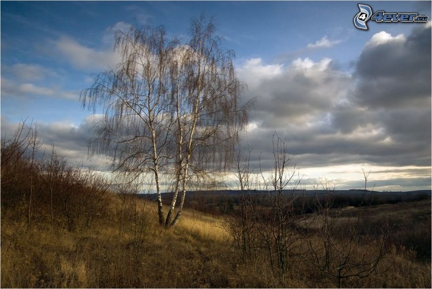 abgeblätterter Baum, Birke