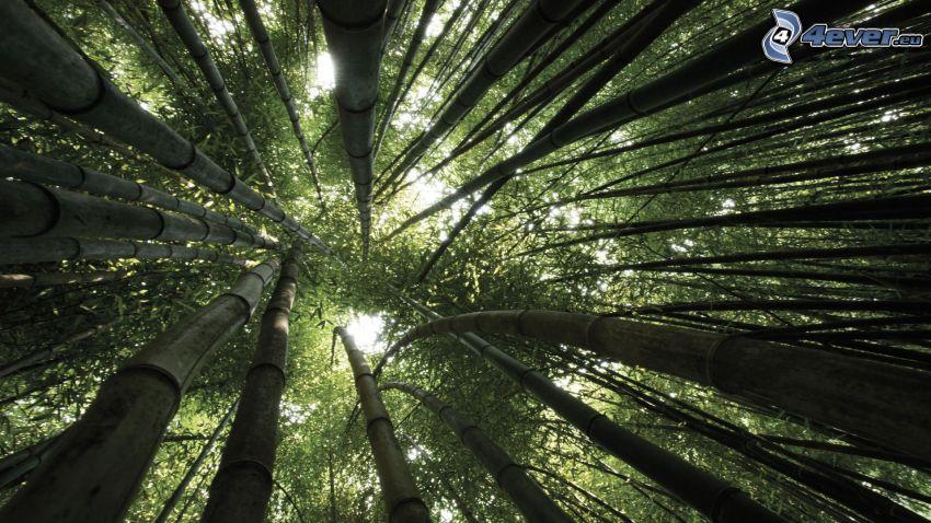 Bambuswald, Bäume