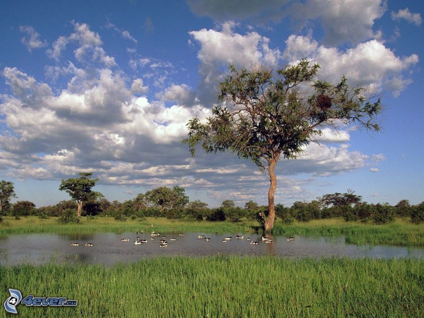 Baum über dem See, Feuchtgebiete, Vögel, Wolken