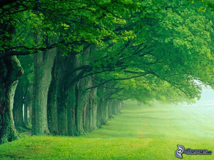 Baumallee, grüne Bäume