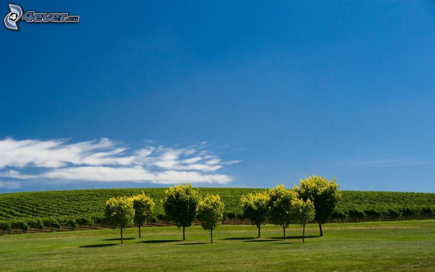 Bäume, Weinberg, Himmel