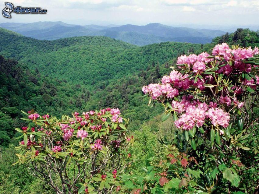 Berge, rosa Blumen, Wald