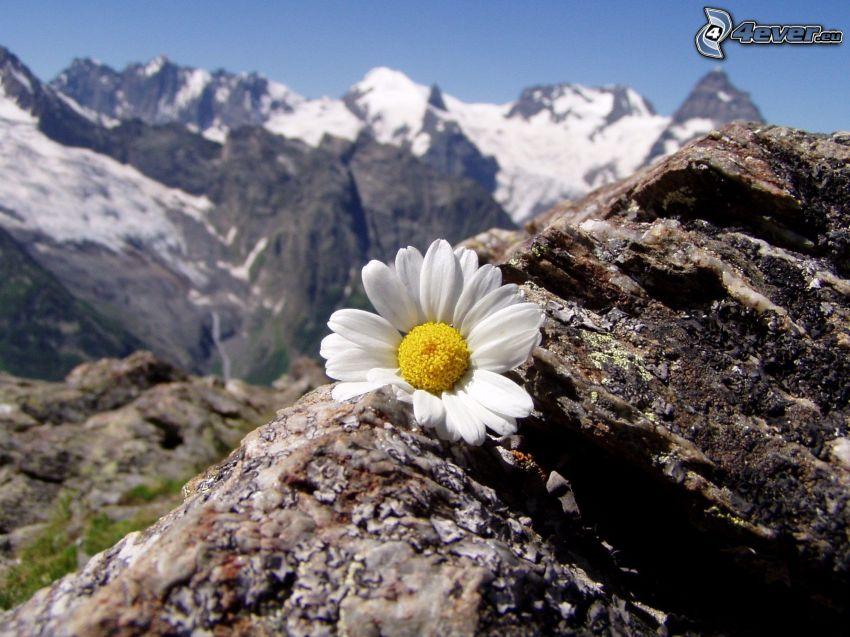 Margerite, felsige Berge