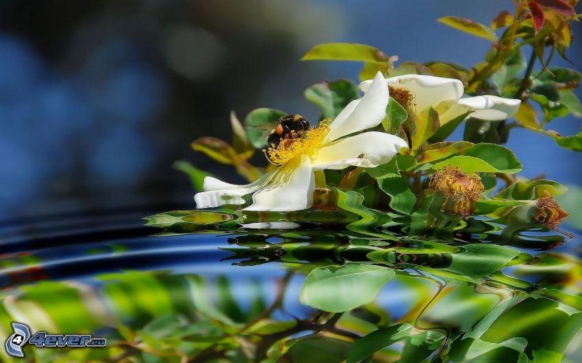 Biene auf der Blume, weiße Blume, Wasser