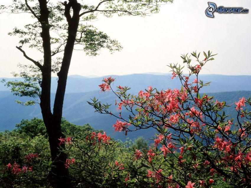 blühender Baum, rosa Blumen, Aussicht auf die Landschaft