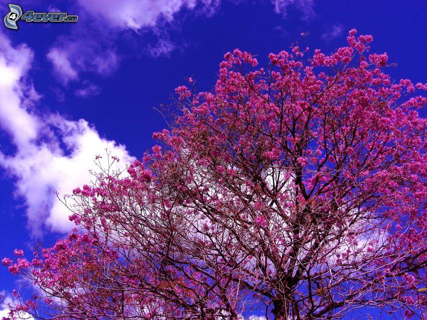 blühender Baum, rosa Blumen, blauer Himmel, Wolke