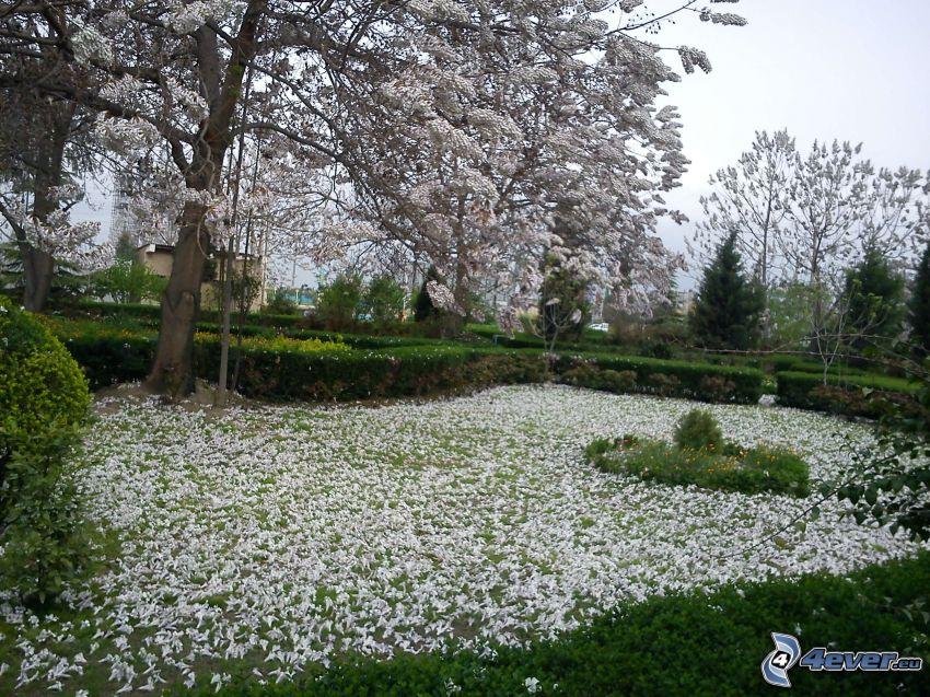 blühender Baum, weiße Blumen, Blütenblätter