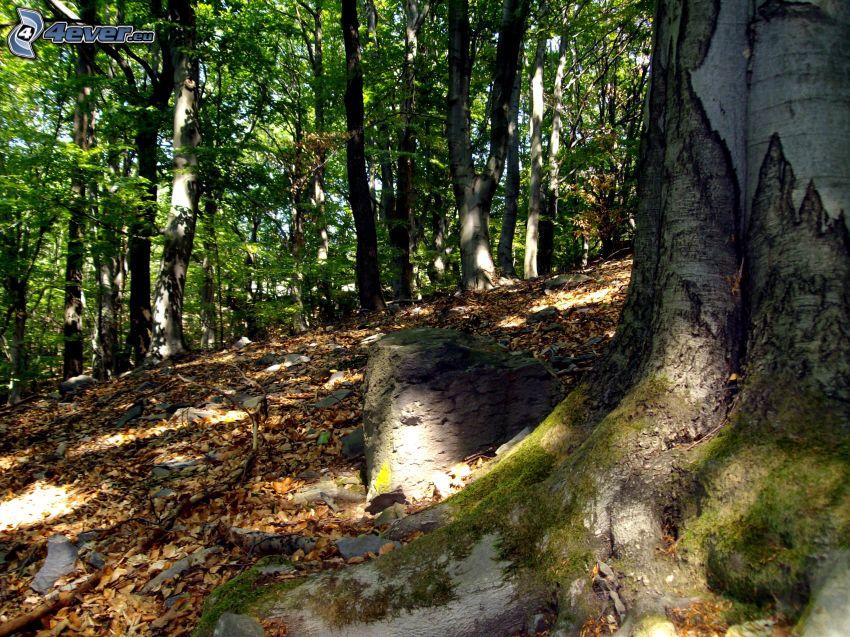 Buchenwald, Laubbäume, Blätter