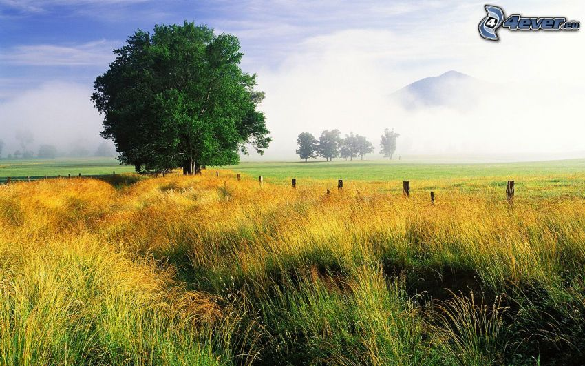 einsame Bäume, gelb Gras, Wiese, Nebel, Hügel