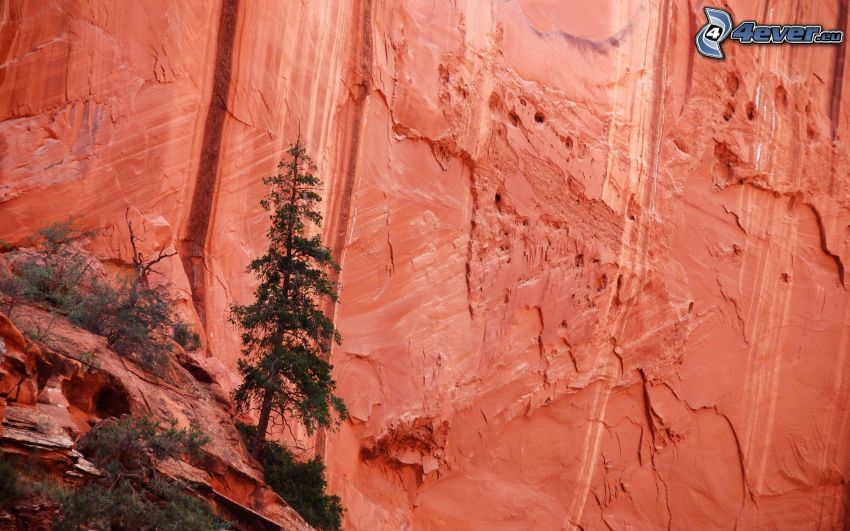 Felsen, Nadelbäume