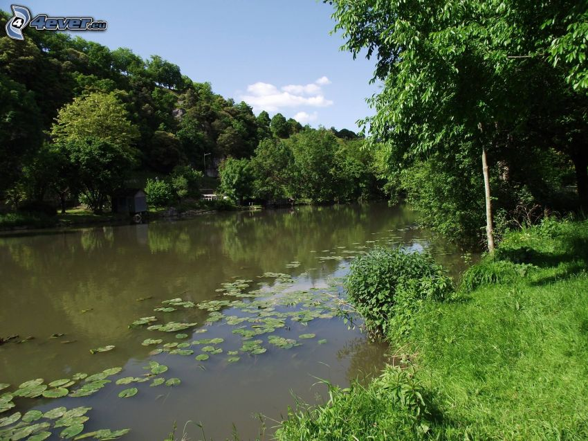 Fluss im Wald, Seerosen