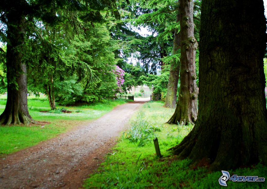 Gehweg, Park, Nadelbäume