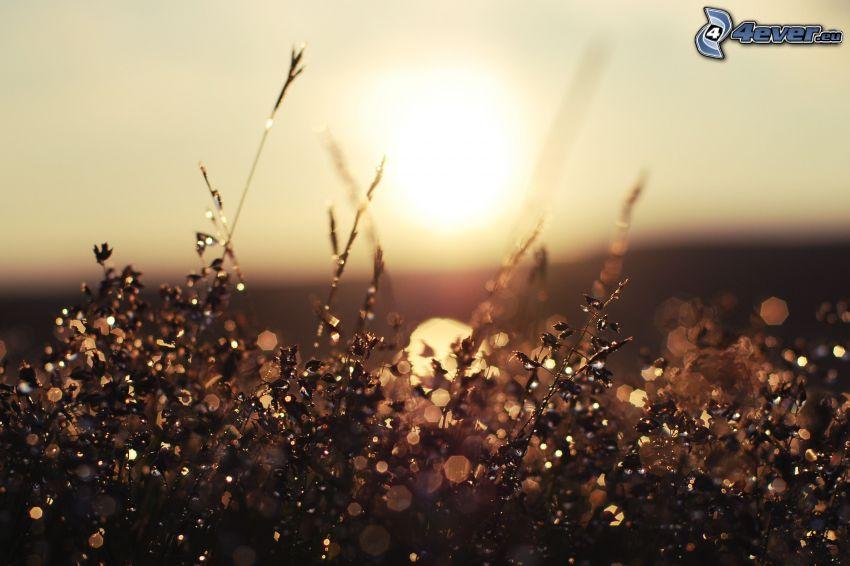 Grashalme, Sonnenaufgang, Tau auf dem Gras