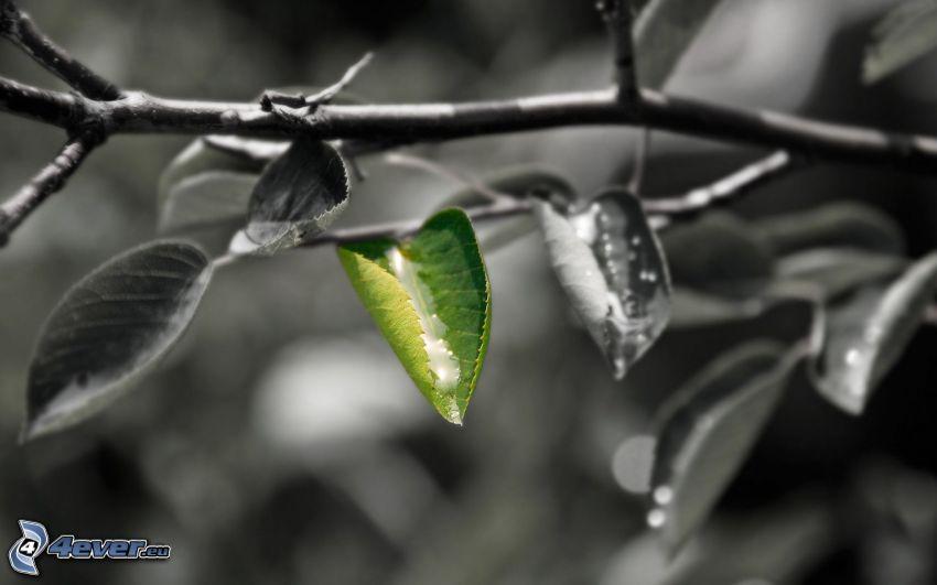 grünes Blatt, Ast, Blätter