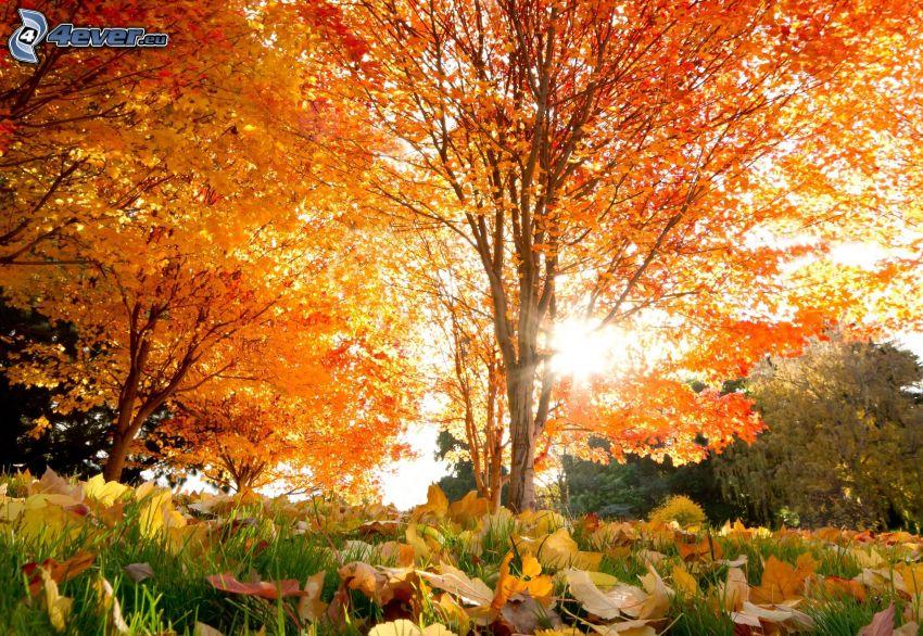 Herbstliche Bäume, orange Blätter, Sonne