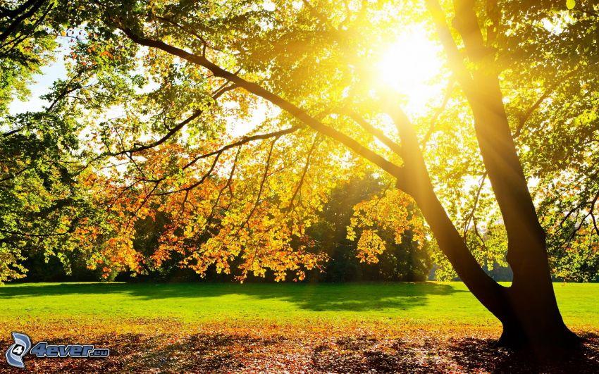 Herbstlicher Baum, Sonnenuntergang hinter dem Baum
