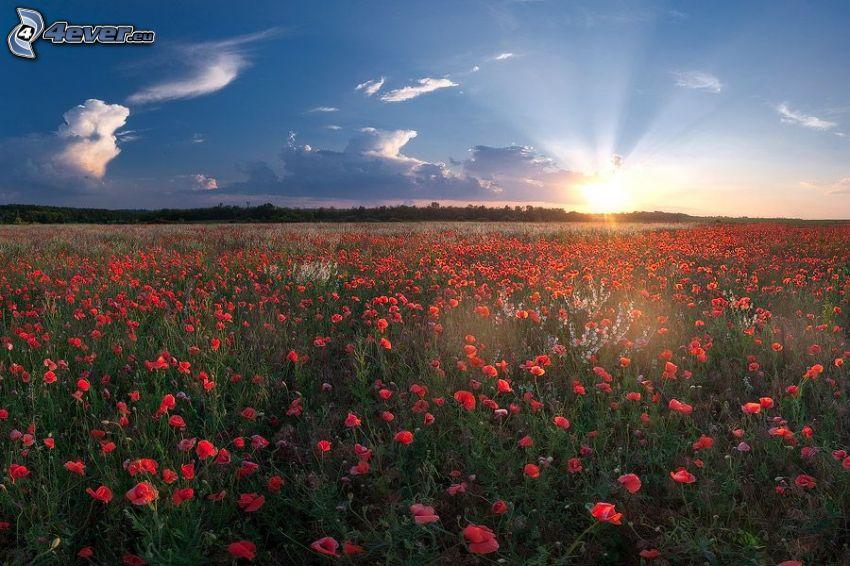 Klatschrose, Sonnenuntergang hinter dem Feld