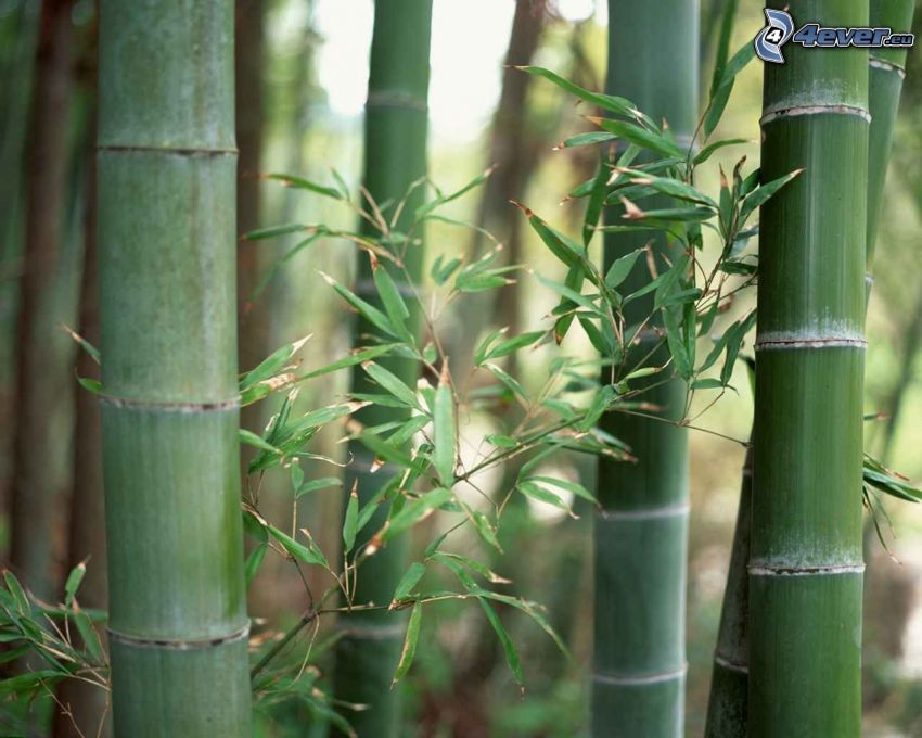 bambus, Ast, Stämme