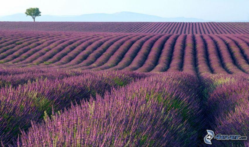 Baum über dem Feld, Lavendelfeld, Blumen