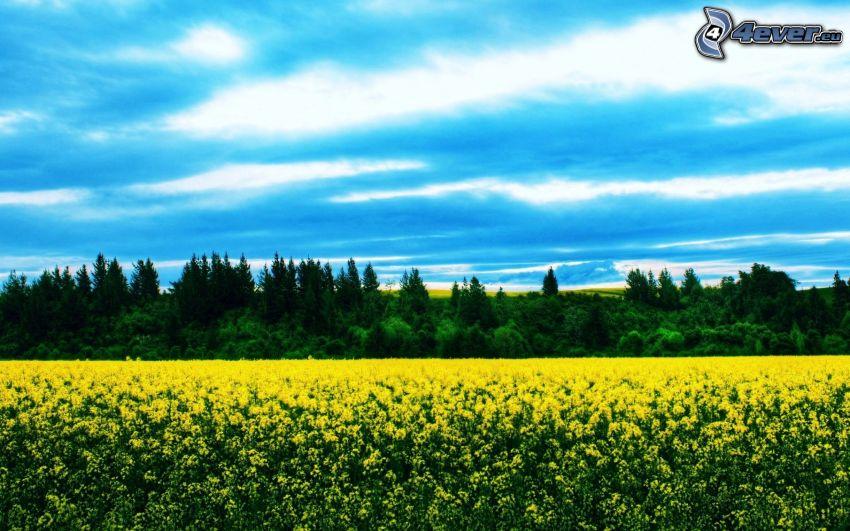 Feld, gelbe Blumen